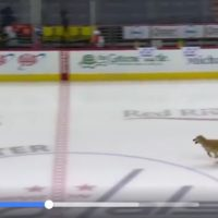 Ice Hockey is also for the Dogs
